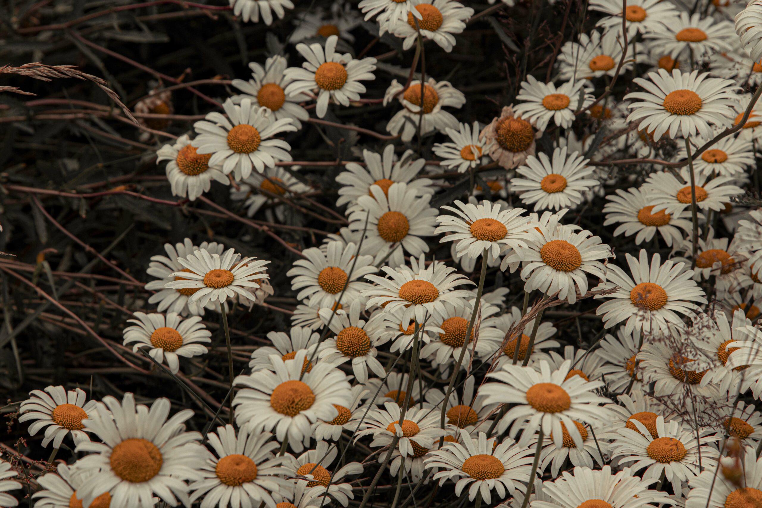 group of daisies dark and moody